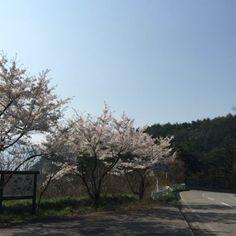 """@fivestar77777's photo: """"今日の桜✨ #山の桜#桜#動画#鳥の声#風越峠"""""""