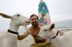 Surfing Goats? Surfing Goats