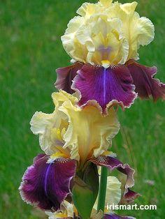 TB Iris germanica 'Faith Winks' (Hoch, 2011)
