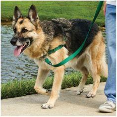 Il est plutôt désagréable d'avoir un chien qui tire en laisse durant les promenades. Vous avez ce problème? Accordez-vous quelques semaines d'entraînement et vous constaterez rapidement une amélioration! Le matériel Pour enseigner à votre chien à ne plus tirer en laisse, vous devez avoir les bons outils. Je conseille une laisse de 6 pieds et ...