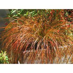 """Prairie Fire (Carex testacea Prairie Fire), also known as Orange Sedge, is a gorgeous specimen plant with attractive olive green, fine-leaved foliage that bursts into orange tones in the fall. In late summer, rose colored flower panicles appear just above the foliage. The nicely mounded plants grow 18"""" h x 14"""" w and are good container or border plants with disease and pest resistance and very low-maintenance. Perennial. Zones 6-9. 10 Seeds."""