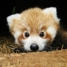 After three months secluded in their nest-box, two rare Red Panda cubs have finally emerged from the den, much to the delight of Cotswold Wildlife Park keepers and visitors alike. These striking twins are the first Red Pandas to be. Super Cute Animals, Cute Baby Animals, Animals And Pets, Funny Animals, Animals Images, Cute Creatures, Beautiful Creatures, Animals Beautiful, Cute Animal Videos
