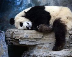 """Let me sleep a little longer...!"" ❤️ pandathings.com #panda #pandathings #pandabear #ilovepandas #bear #animal #fluffy #cute #pandalove #pandalover #iampanda #sleep #sleepy #zzz #bed"