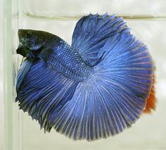 808 Blue HM male