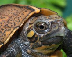 Keeled Box Turtle at the Tennessee Aquarium