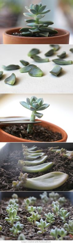 //garden and plants - how to propagate succulents from leaves Importante. No cubras con tierra las hojas de suculentas pues se pudren. Garden Types, Diy Garden, Garden Projects, Garden Plants, Garden Landscaping, Terrace Garden, Plants Indoor, Air Plants, Landscaping Ideas