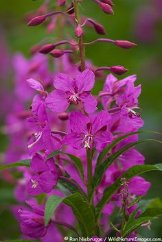 Fireweed blooms in Lake Clark National Park, Alaska. Many in Alaska believe you can determine when winter will start by the blooming of the Fireweed. It is said that once the Fireweed blooms to the top and goes to seed winter is only 6-8 weeks away.