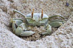 Ghost crab, Seychelles, beach