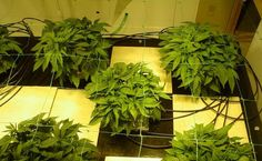 """Hydroponics will offer you the highest potential yield out of any method. You maximize a marijuana plant's growth by growing in water. Although it might sound a bit strange for a plant to grow without soil, there are actually plenty of examples of plants that grow wild in the water."" http://www.ilovegrowingmarijuana.com/hydroponically-marijuana-growing-indoors/?utm_content=buffer2ed01&utm_medium=social&utm_source=pinterest.com&utm_campaign=buffer#top"