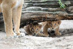 Cute baby lions photo | Cute Animals Photos