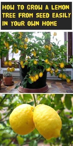 Learn how to properly plant and care for you lemon tree! diy garden plants How to Grow a Lemon Tree from Seed Easily in Your Own Home Fruit Garden, Garden Plants, Shade Garden, Garden Beds, Box Garden, Tree Garden, Fruit Plants, Garden Tools, Garden Pond