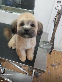 My 5 month old Lhasa-Poo Amber at the groomers