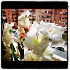 Gladiolos en la ventana