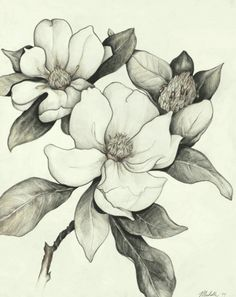 Magnolia tree tattoo u. Pencil Drawings Of Flowers, Flower Sketches, Art Drawings, Flor Magnolia, Magnolia Flower, Magnolia Branch, Illustration Botanique, Botanical Illustration, 16 Tattoo