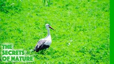This programme tells the story of a bird known and loved by everyone. In many cultures it is a bearer of good fortune. In ancient China it was the symbol of . Ancient China, Ancient Egypt, Stork, The Secret, Terra, Nature, Swimming, Youtube, Swim