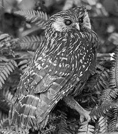 Sceloglaux albifacies albifacies.jpg Photogtaphed before 1914 when last seen alive