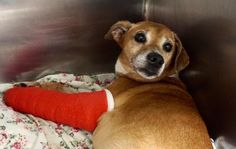 **HIT BY CAR* MICROCHIPED!--   TO BE DESTROYED 07/17/17  MILES. A1118379.  I am a male brown beagle mix. The shelter thinks I am about 9 YEARS old. STRAY on 07/13/2017