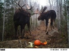 upper peninsula | Tumblr - one of the top things I want to see before I die. I've never seen a moose, don't tell my mother she's afraid of them!