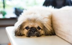 Download wallpapers Pekingese, small dog, cute fluffy dogs, 4k, sofa, pet