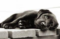A 10-week old Black Lab puppy lounging around. Photo by, LittleFriendsPhoto.com