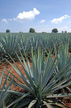 The Blue Agave Tequilana Webber class plant from the Highlands in Mexico ensures that we craft the finest tequila available. -Carlos