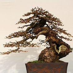 Noelanders Trophy Bonsai Nominado: Larix Decidua. Árbol de Giacomo Pappalardo.