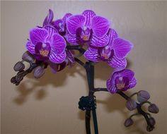 Как размножать орхидею фаленопсис.Размножить фаленопсис получится лишь в том случае, если она здорова, а также получает необходимые питательные вещества, достаточное количество света и влаги. Отлич…