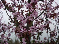 Roodbladige kerspruim, Prunus cerasifera 'Nigra' kopen vanaf €17,00   Ten Hoven Boomkwekers Apeldoorn