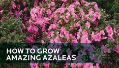 How to Grow Amazing Azaleas