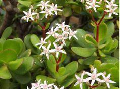 Crassula ovata o planta de Jade
