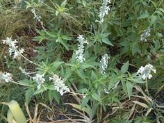 White Salvia is also a great choice for deer issues, low water low maintenance. (sun to part sun)