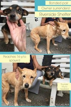 PLEASE READ!!! IMMEDIATE NEED OF THEIR FOREVER HOME!!! BONDED PAIR NEEDS TO BE SAVED TOGETHER 16YR N 18YR OLDS BOTH FIXED!! PLEASE HELP THEM!!! Nonchalant, heartless owners surrendering their 16 and 18 year-old  bonded dogs