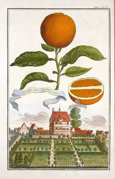 Tiziano Codiferro master gardener Fruit Prints from Volckamer 1708 www.codiferro.it