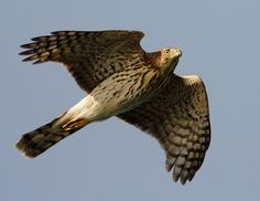 One of the niche hunters. Small to medium prey. Cooperative hunters. Coopers Hawk.