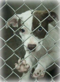 06/24/14 **URGENT AT ODESSA ** Collie mix male less than 4 months  Kennel A13  Available NOW ****$35 to adopt  Located at Odessa, Texas Animal Control. 432-368-3527.
