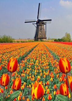Holland by by geoffdoncaste. Holland by Holland Windmills, Old Windmills, Tulips Garden, Tulips Flowers, Tulip Fields Netherlands, Holland Netherlands, La Provence France, Felder, Beautiful Places To Travel