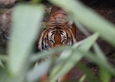 tiger walking towards on green leaf plant during daytime photo – Free Tiger Image on Unsplash Graph Database, Database Design, Tiger Images, Tiger Pictures, Joshua Lee, Tiger Walking, Reptile House, Proof Of Concept, Zoo Animals