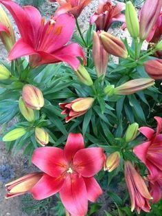 Пышное цветение лилий 1