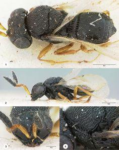 Trissolcus mopsus, female holotype