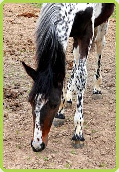 Her name is Vision Morinda, and she's a Selle Francais. She's not a Pintaloosa, which makes her pattern very odd. This is the website I found her referenced to, that talks in-depth about her coloring: http://equinetapestry.com/2012/05/26/1180/, and her breeder's website (for more pictures of her): http://www.chevaldecouleur.fr/fr/ind...vision-morinda.