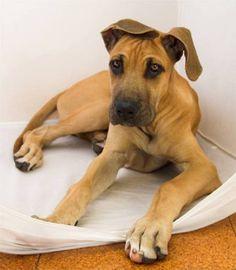 great dane puppy brown | Zoe Fans Blog