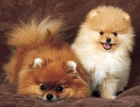 My husband an I have little Toy Pom dogs!They almost look like the 2 in the pictures!!We love them dearly and they are like our own children!