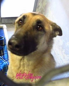 A4788511 I am a very sweet 3 yr old female black/tan German Shepherd. I came to the shelter as a stray on Jan 1. available 1/6/15 Baldwin Park shelter https://www.facebook.com/photo.php?fbid=899377163407455&set=a.705235432821630&type=3&theater