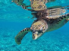 An encounter with a overly friendly juvenile Hawksbill turtle at Isle Cocos in the Seychelles! Personal And Professional Development, Volunteer Abroad, Volunteers, Seychelles, United Kingdom, Turtle, National Parks, Turtles, Tortoise
