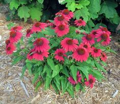 Sombrero® Baja Burgundy will add a bold accent to sunny gardens with its vibrant, deep violet-red blossoms. The beautiful flower color is without equal among coneflowers and is perfect for cut flowers. Cut Flowers, Colorful Flowers, Dried Flowers, Beautiful Flowers, Burpee Seeds, Herbaceous Perennials, Burgundy Flowers, Plant Needs, Green Plants