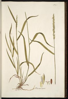 Triticum repens drawing