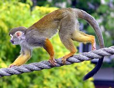 Macaco-de-cheiro (Saimiri sciureus)