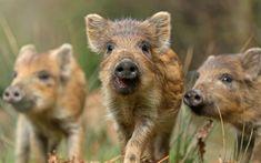 Scarica sfondi cinghiali, animali di piccola taglia, abitanti delle foreste, della fauna selvatica