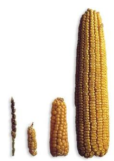 How humans bred modern #corn from #teosinte