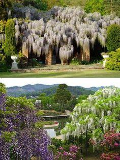 Plantas ornamentais: As glicínias do Japão | Paisagismo Digital